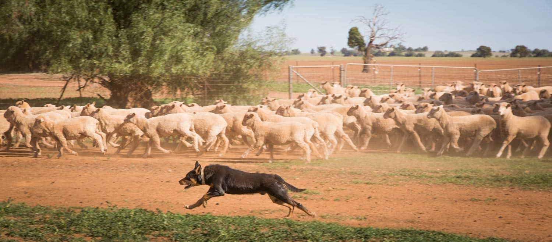 Buy Lamb Online